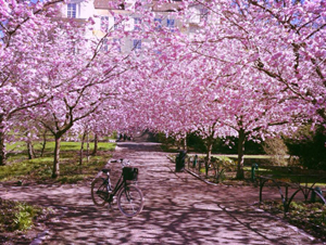 Location Scouting - Cherry blossom - Göteborg